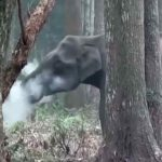 Elephant Smoking