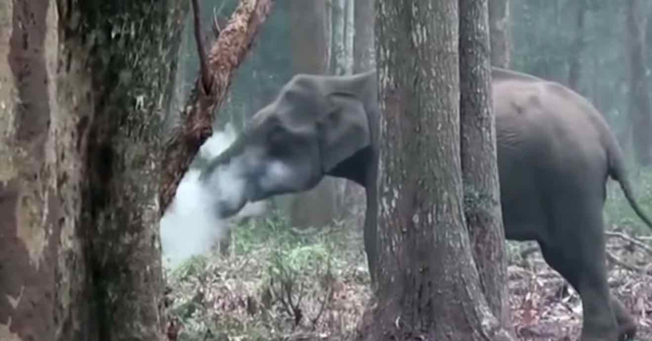 Elephant Smoking